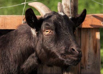 5 Mitos tentang Daging Kambing yang Wajib Kamu Tau