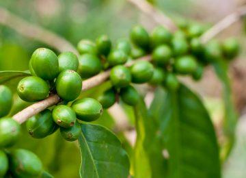 Green Coffee Bisa Turunkan Berat Badan? Cek Faktanya Di Sini!