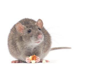 Waspada 5 Jenis Penyakit yang Disebabkan oleh Tikus