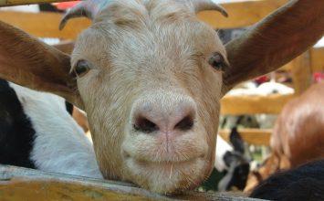 Boleh ngga Ya, Ibu Hamil Mengonsumsi Daging Kambing?