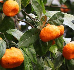 Yuk, Ketahui Manfaat Mengonsumsi Jeruk Mandarin!