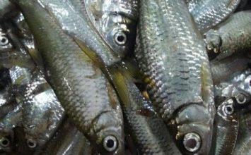 Ikan Bilih, Alternatif Pangan Lokal Cegah Stunting